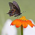 Black Swallowtail Butterfly by Jack Schultz