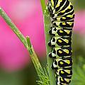 Black Swallowtail Caterpillar On Garden by Mike Grandmailson