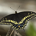 Black Swallowtail Din103 by Gerry Gantt