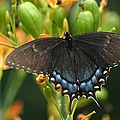 Black Swallowtail by Living Color Photography Lorraine Lynch
