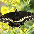 Black Swallowtail by Mark J Seefeldt