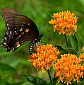 Black Swallowtail Visiting Butterfly Weed Din012 by Gerry Gantt