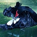 Black Swan Grooming by DiDi Higginbotham