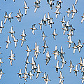 Black-tailed Godwit Limosa Limosa Flock by Frits Van Daalen
