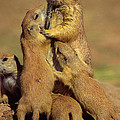 Black-tailed Prairie Dogs by Tony Beck