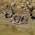 Black-throated Finches At Waterhole by Bruce J Robinson