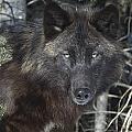Black Timber Wolf by John Pitcher