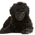 Black Toy Poodle Pup by Mark Taylor