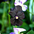 Black Violet by Susan Herber
