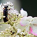 Black Wasp 3 by Douglas Barnett