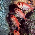 Blackbar Soldierfish by Georgette Douwma