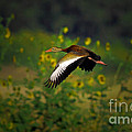 Blackbellied Whistling Duck In Flight by Robert Frederick