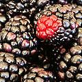 Blackberries  by JC Findley