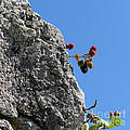 Blackberry On The Rock Top. Square Format by Ausra Huntington nee Paulauskaite