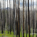 Blackened Forest  by Colleen Johnson