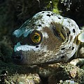 Blackspotted Puffer by Matthew Oldfield
