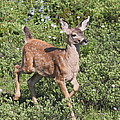 Blacktail Fawn by Angie Vogel