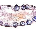 Bladder Wrack, Light Micrograph by Dr Keith Wheeler
