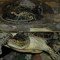 Blandings Swimming Turtle by LeeAnn McLaneGoetz McLaneGoetzStudioLLCcom