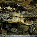 Blandings Turtle by LeeAnn McLaneGoetz McLaneGoetzStudioLLCcom