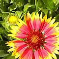 Blanket Flower by Renate Nadi Wesley
