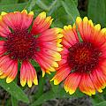 Blanket Flowers by Judy Wanamaker