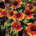 Blanket Flowers by Renate Nadi Wesley
