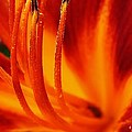 Blazing Lily by Bruce Bley
