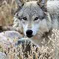 Blending Wolf  by Steve McKinzie
