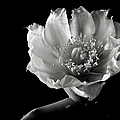 Blind Prickly Pear Cactus In Black And White by Endre Balogh