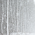 Blizzard Blankets Trees In Snow by Douglas MacDonald