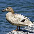 Blond Duck by Mats Silvan
