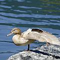 Blonde Duck by Mats Silvan