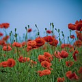Blood Red Poppies On Vibrant Green And Blue Sky by Edward Carlile Portraits