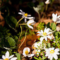 Bloodroot And Spring In The Woodland by Lee Craig