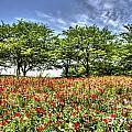 Bloomed Poppy by Tad Kanazaki