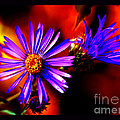 Blooming Asters by Susanne Still