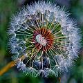Blooming Dandelion by Werner Lehmann