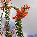 Blooming Ocotillo by Dina Calvarese
