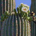 Blooming Saguaro   Sonora Desert by Nathan Mccreery