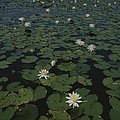 Blooming Water Lilies Fill A Body by Bates Littlehales