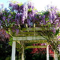 Blooming Wisteria  by Nancy Patterson