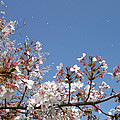 Blossom 4 by Richard Jones
