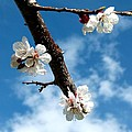 Blossoming Apricot by Will Borden