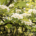 Blossoming Hawthorn Tree by Angie Rea