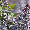Blossoming Hyacinthiflora Lilacs by Darlyne A. Murawski