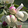 Blossoms And Buds by Cheryl Butler