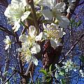 Blossoms by Douglass Reynolds