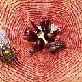 Blowflies On Stapelia by Dant� Fenolio