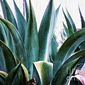 Blue Agave by Amber Stubbs